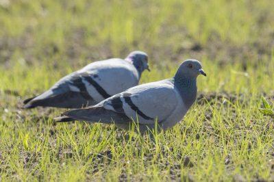 Columba livia/Feral rock dove/Pigeon biset/IUCN=LC,Aeroport Napoléon Bonaparte