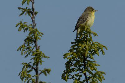 Hippolais polyglotta/Melodious warbler/Hippolaïs polyglotte/IUCN=LC, Aerodrome de Cergy Pontoise, Cormeilles-en-Vexin, Val d'Oise