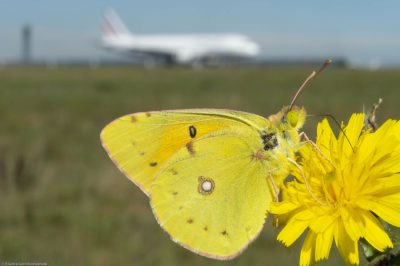 Colias crocea/Common Clouded Yellow/Souci, Roissy Charles de Gaulle Airport