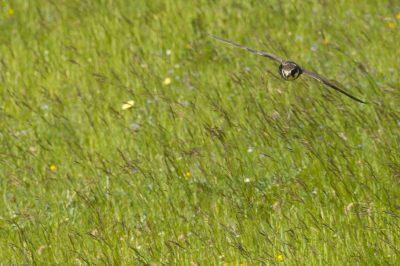 Falco subbuteo/European hobby/Faucon hobereau/IUCN=LC,Airport Castres-Mazamet
