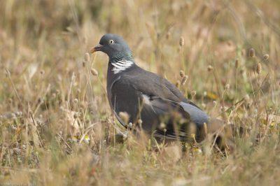Columba palumbus/Wood pigeon/Pigeon ramier/IUCN=LC, Airport Perpignan-Mediterranee
