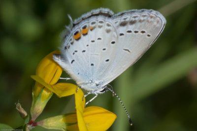 Cupido argiades/Short-tailed blue/Azuré du trèfle,Aéroport de Tarbes