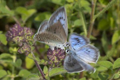 Phengaris arion/Large blue/Azuré du serpolet, Aéroport de Tours Val de Loire